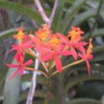 Jour 13 - Jardin botanique de Peradeniya 15
