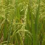 Jour 13 - rizières de Tegalalang 5
