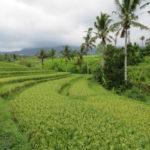 Jour 14 - rizières de Jatiluwih 4