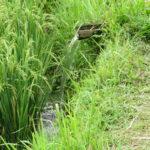 Jour 14 - rizières de Jatiluwih 5
