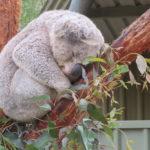 Jour 8 - Potoroo Palace 14 (koala)