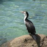 Jour 13 - Parc national Abel Tasman 2 (cormoran)