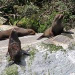 Jour 7 - Fiordland 31 - Milford Sound (otaries)