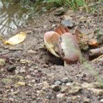 Jour 13 - Tahaa crabe de terre 2