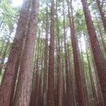 Jour 18 - Redwood Walk 6