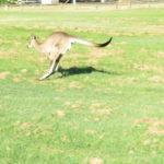 Jour 3 - Burnett Heads 2 (kangourou)