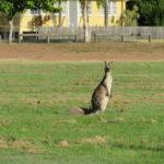 Jour 3 - Burnett Heads 4 (kangourou)
