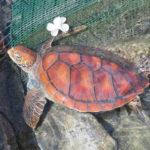 Jour 5 - Intercontinental de Moorea tortue