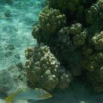 Jour 6 - Moorea snorkeling au jardin de corail 4
