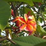 Jour 7 - Yeppoon 1 (fleur)