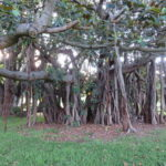 Jour 15 - Jardin botanique de Sydney 13 (arbre)