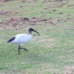 Jour 15 - Jardin botanique de Sydney 14 (ibis)