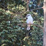 Jour 15 - Jardin botanique de Sydney 5 (kookaburra)