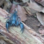 Jour 11 - Khao Yai National Park 15 (scorpion)