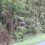 Jour 11 - Khao Yai National Park 21 (éléphant)